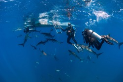 Big school of silky sharks swimming around divers close to the boat