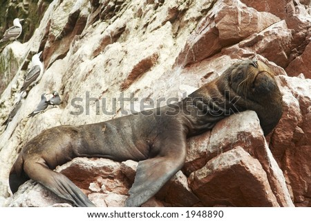 Big sea lion overlies on stone