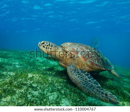 big sea turtle on the seaweed bottom on Philippines