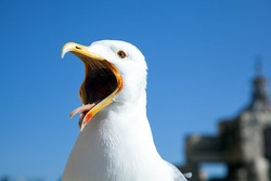 Big seagull calling congeners with a widely opened beak on blue sky background