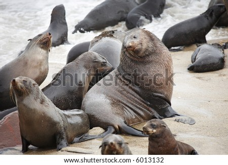 Big seal male with his own females, Atlantic coast of Namibia - stock photo