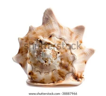 Big seashell isolated on white background