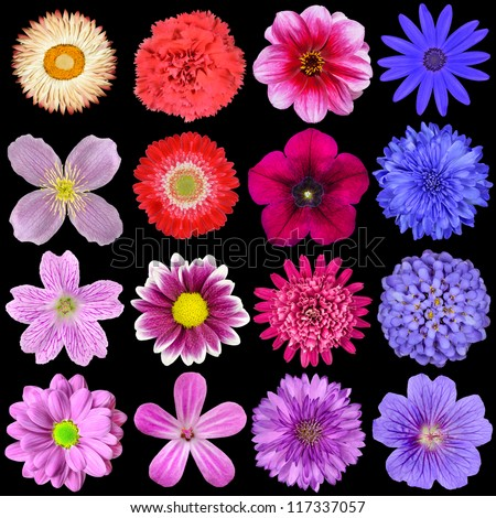 Big Selection of Colorful Flowers Isolated on Black Background. Various Red, Pink, Purple, White Colors including rose, dahlia, marigold, zinnia, strawflower, sunflower, daisy, primrose