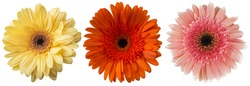 Big Selection of Colorful Gerbera flower (Gerbera jamesonii) Isolated on White Background. Various  pink, yellow, orange