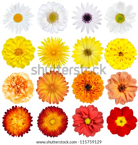 Big Selection of Various Flowers Isolated on White Background. Red, Pink, Yellow, White Colors including rose, dahlia, marigold, zinnia, strawflower, sunflower, daisy, primrose and other wildflowers