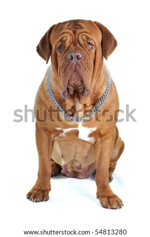 Big Serious Female Mastiff Looking Directly into the Camera