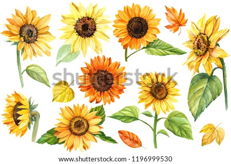 big set, autumn colors, sunflowers, on an isolated white background, watercolor illustration, botanical painting