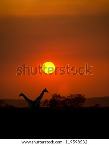 Big Setting sun with silhouettes of Giraffes and Acacia trees on Safari in Serengeti National Park
