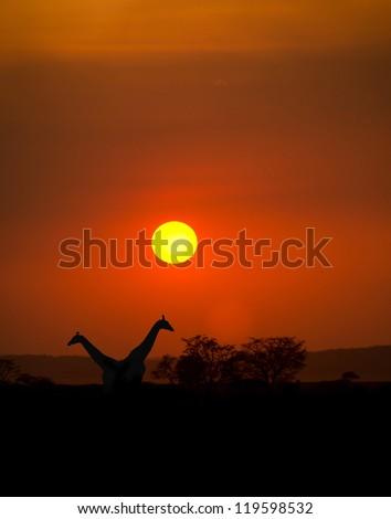 Big Setting sun with silhouettes of Giraffes and Acacia trees on Safari in Serengeti National Park - stock photo