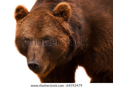 big shaggy brown grizzly bear easy costs and looks aside