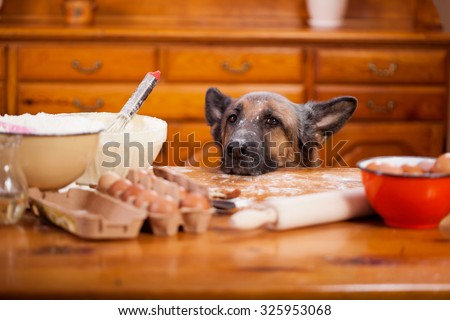 Stock Photo Big shepherd dog stealing from table in the kitchen