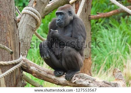 big silverback gorilla sitting in the zoo