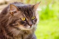 Big silvery gray cat, gaze