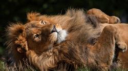 big sleeping lion closeup on outdoor stone rocks background