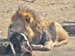 Big sleeping lion closeup. Outdoor ground background.
