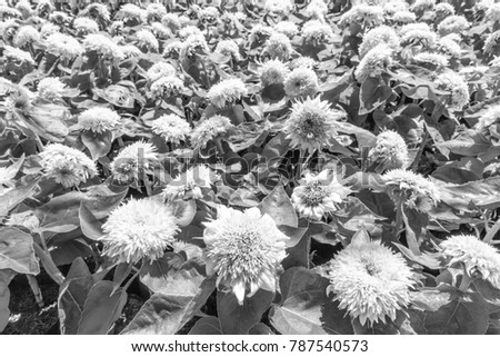 Big Smile Sunflower are style black and white.
