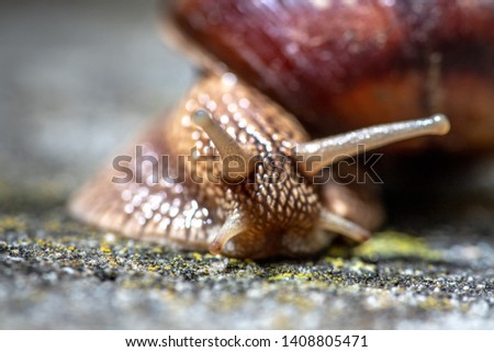 Big snail in shell crawling on road, summer day. Slug close up #1408805471