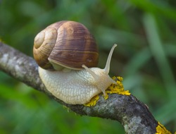 Big snail in shell (Helix pomatia also Roman snail, Burgundy snail) crawling on a tree branch, summer sunny day in garden