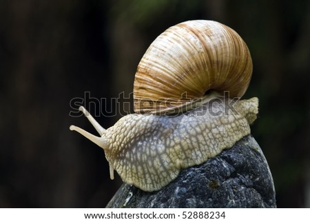 Big snail on a rock