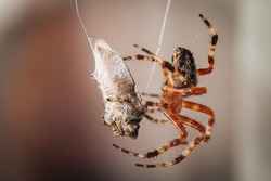 Big spider making cocoon from trapped bug