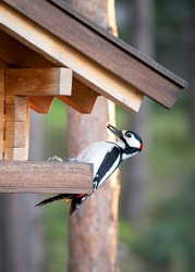 Big spotted woodpecker sits in a bird feeder and eats seeds