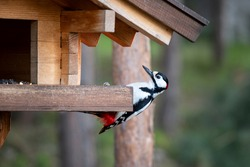 Big spotted woodpecker sits on a wooden bird feeder in a pine forest