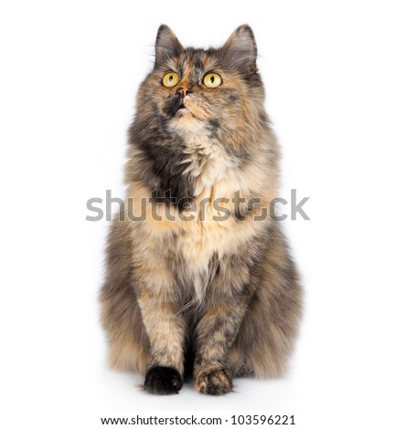 big striped siberian cat isolated on white background