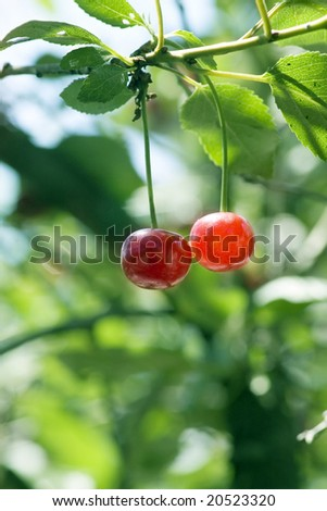 big sweet and juicily cherries on a Tree