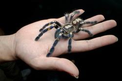 Big tarantula spider on human palm