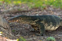 Big Thai dragon lizard full belly stands