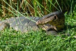 Big Thai dragon lizard head close up