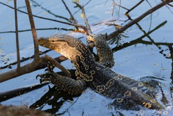 Big Thai dragon lizard in a river