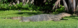 Big Thai dragon lizard on the grass