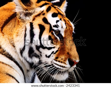 Big Tiger on a black background