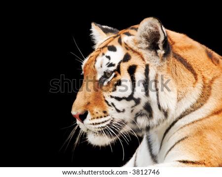 Big Tiger on a black background