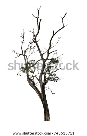 Big tree and dry branch isolated on white background with clipping path. Neem Tree or Holy Tree.