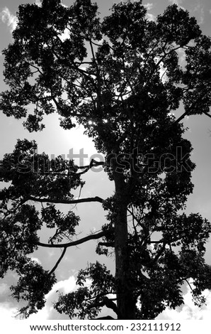 big tree and sky in black and white