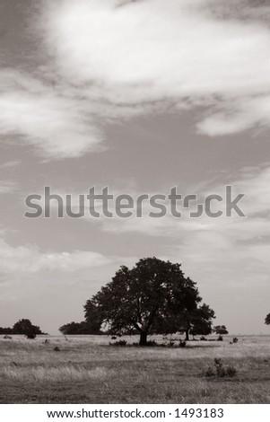 Big tree - black & white