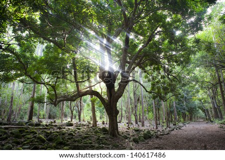 Big tree in Black River Gorges national forest on Mauritius island, sunlight