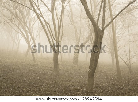 big tree in fog in forest