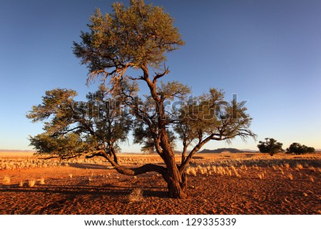 Big tree in Sossusvlei, red desert, Namibia