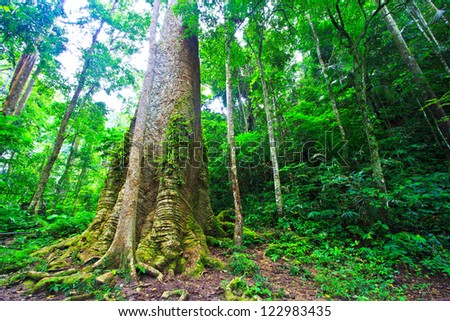 Big tree in the forest Thailand