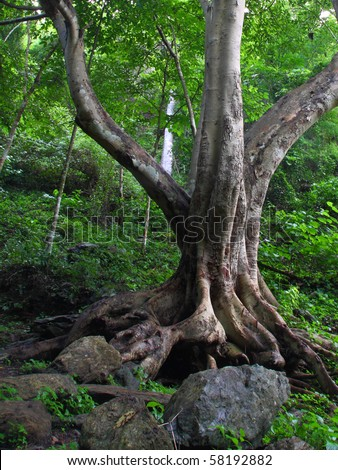 big tree in tropical jungle, Thailand.