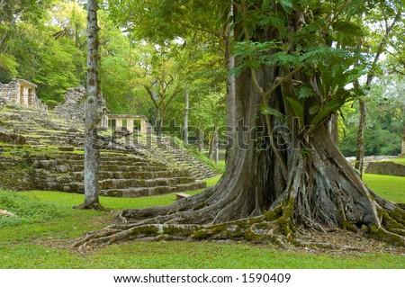 Big tree in Yaxchilan archeological site, Chiapas, Mexico