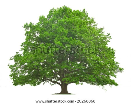 Big Tree isolated against a white background