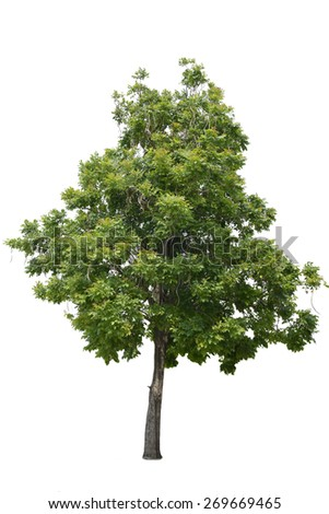 Big tree isolated  on a white background with clipping path.