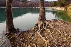Big tree roots on the lake. In the background marsh cypress trees in early spring