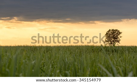 tall grass field sunset. Big Tree Stand Alone In The Middle Of Sugar Cane Farm Right After Sunset With Tall Grass Field