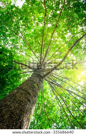 Big tree with green leaves, Sun shining through the canopy of tall beech trees