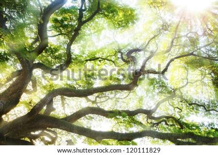 Big tree with sun light. #120111829